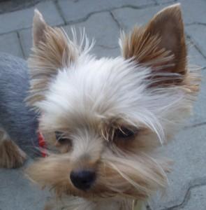 Onemocnění uší u psů – příznaky